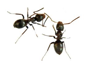 ameisengel kaufen sie hier im sch dlingsbek mpfung online. Black Bedroom Furniture Sets. Home Design Ideas